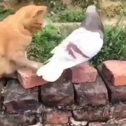 Naughty cat jiggling and pigeon